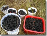 blackberries on Vancouver Island