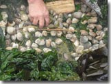 Steamed clams and seaweed Van Island
